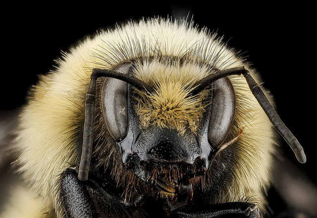 Bombus huntii, M, face, Pennington County, SD_2012-11-14-15.34.51 ZS PMax. Badlands National Park, South Dakota from the USGS Bee Inventory