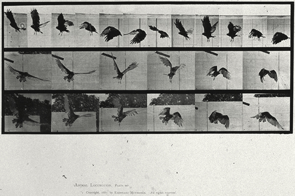 stop-motion images of a vulture in flight