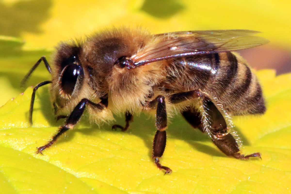 Close up of a honey bee on a bright yellow leaf.